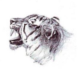 تعليم رسم نمر