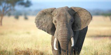 كيفية رسم فيل
